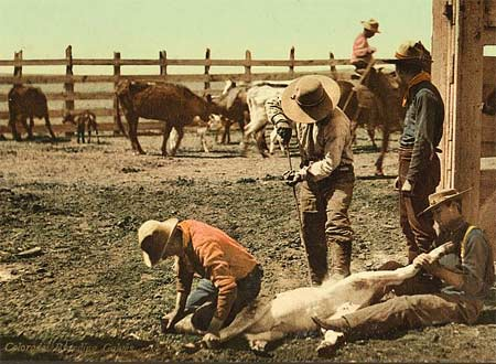 A postcard depicting the branding of cattle in Colorado, USA